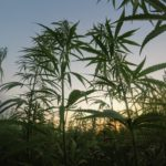 田んぼに発生するヒエなど雑草の除草対策とおすすめのアイテム