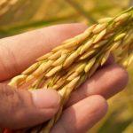 田んぼの角刈りに便利稲を簡単に刈り取る「かりとりくん」【稲刈り】