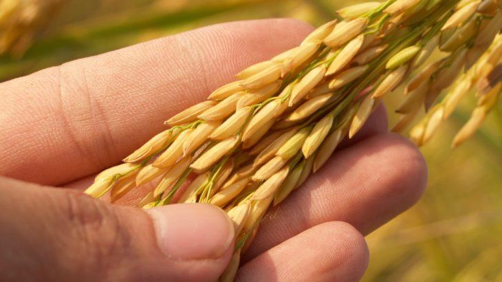 田んぼの角刈りに便利な稲を簡単に刈り取る「かりとりくん」とは?評価とレビュー【稲刈り】