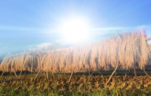 稲の天日干し・はざ掛けの効果と方法