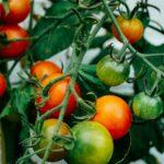 トマトの誘引や芽かき・追肥などの時期・方法を知ろう【トマト栽培のコツまとめ】