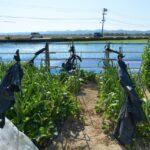 台風などの強風から作物を守る防風ネットの基本と張り方